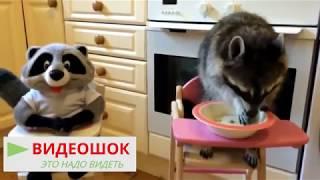 Лучшие видео с енотами Смешной енот