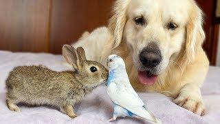Golden Retriever and Baby Bunnies befriend with Budgie [Cuteness Overload]