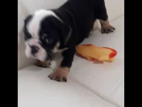 Snickers the English Bulldog Puppy