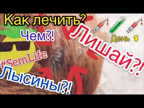 Лишай или лысина у собаки, как лечить? Чем вылечить лишай, лысину у собак дома? день 1