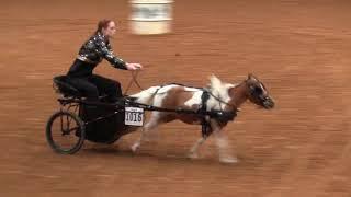 2019 Pinto Worlds Miniature Horse Barrel Racing