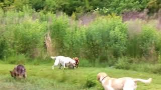 Copy of Pit Bull vs German Shepherd and Labrador