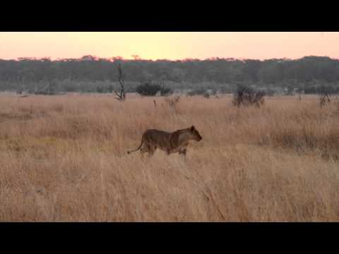 Guests on a game drive with African Bush Camps - Authentic Safaris were treated with a sighting of Cecil's cubs who are alive and well with the females of the pride.