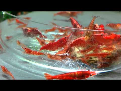 Video Red Cherry Shrimp Eating a Hikari Algae Wafer