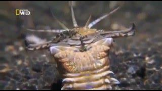 Смотреть онлайн Жители океана: пурпурный австралийский червь