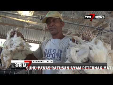 JOMBANG - Suhu Panas Ratusan Ayam Peternak Mati Mendadak
