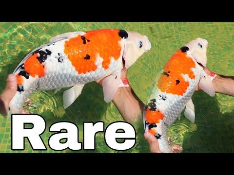 Rare MULTI COLORED KOI SAVES baby fish for SADNESS!!
