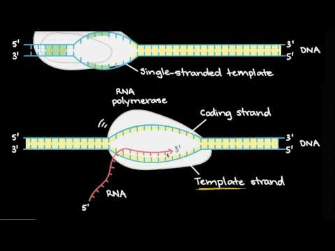 DNA transcription and mRNA processing (video) Khan Academy