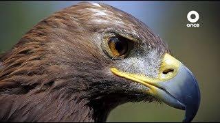 Factor Ciencia - Águila real, rescate de nuestra identidad