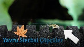 Sterbai Yavrular Büyüyor!
