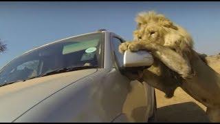 Kenya Safari: Lion Attack And Elephant Attack