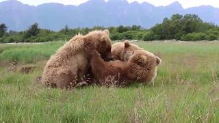Amazing footage of Alaskan Mother Bear nursing cubs! Unseen! Up close!