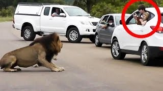 Lion Shows Tourists Why Must Stay Inside Your Car