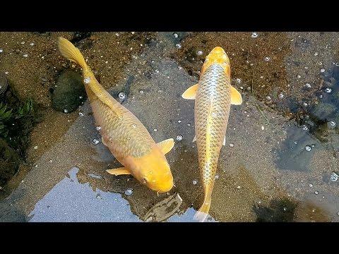 錦鯉の川(黄金鯉・光り無地・緋写りの群れ) Nishikigoi river (golden carp,Hikarimuji, Hiuturi)