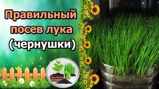 Лук эксибишен из семян за один сезон подкормка ютюб