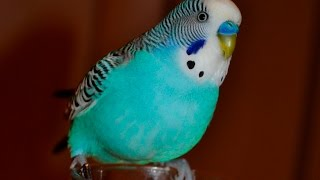 Budgie sounds Compilation - 10 Hours singing to mirror