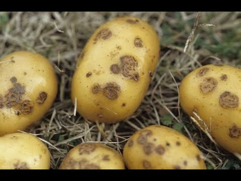 , title : 'Identifying and Treating Potatoes Diseases, Pests and Deficiencies