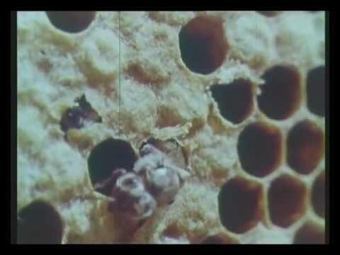 Cовременные методы содержания и разведения пчел. Центрнаучфильм 1969 год.