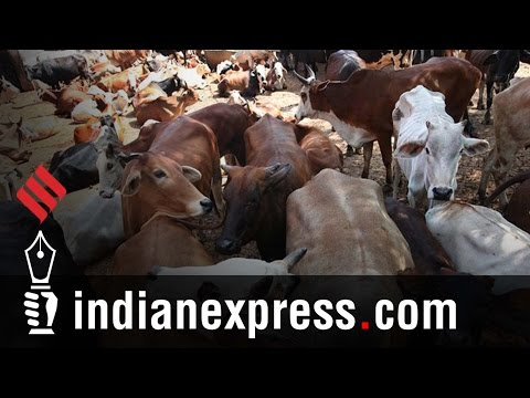 Life Term For Those Found Guilty Of Cow Slaughter In Gujarat