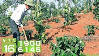 Lợi ích Trồng Cây Cà Phê Trong Vườn Tiêu  I VTC16