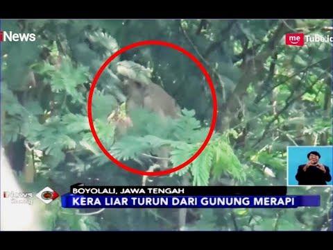 Dampak Erupsi, Kera Liar Turun dari Gunung Merapi - iNews Siang 21/02