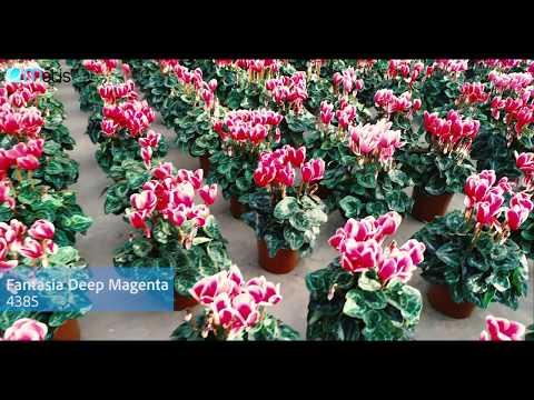 Morel Cyclamen - Production Trials Holland 2018 thumbnail