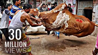 Grounding Of The Mighty Helicopter | Bengal Farm House | Eid Ul Azha | Exclusive Goru Qurbani Video