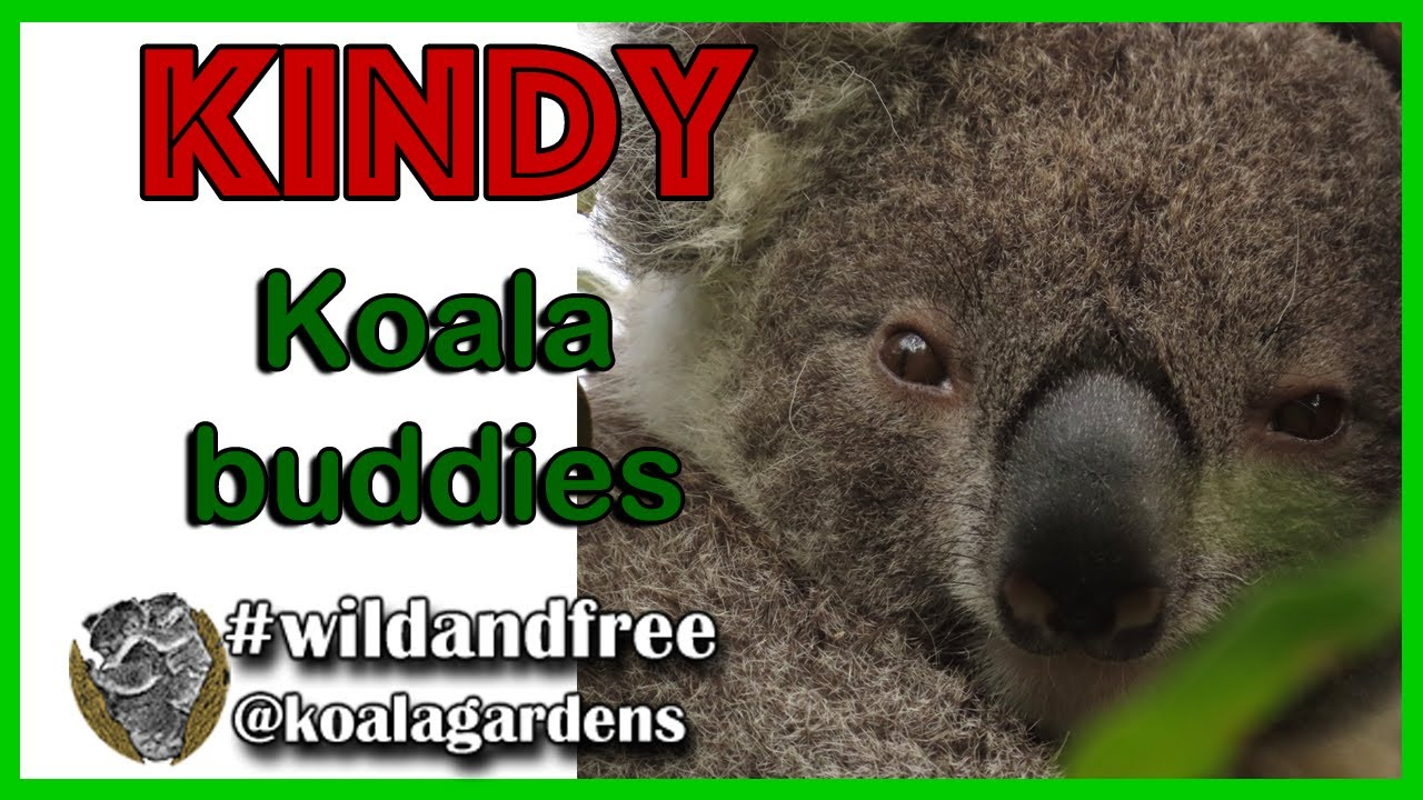 Koala Kindy – Webster and Templeton update