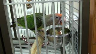 Truman Cape Parrot - Learns to Eat Veggies by Modeling Off Kili - YouTube