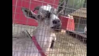 animale comunica cu capra