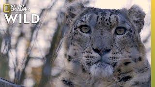 Snow Leopards 101 | Nat Geo Wild