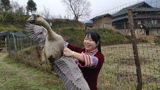 大年三十,秋子联手丫头哥徒手抓鹅,最后把一旁的伯母给笑坏了