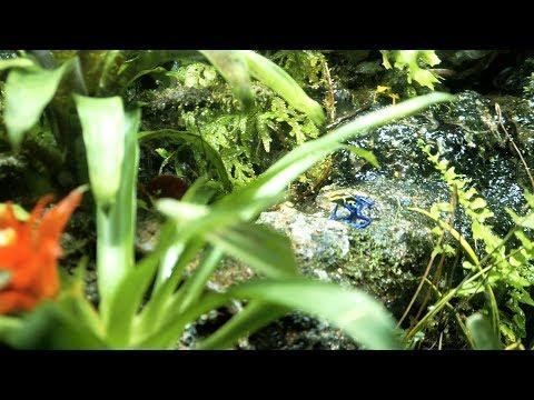 Poisonous Frogs.Blue Poison arrow frog.amazonian poison dart frog.golden poison frog