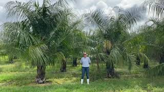 Our Mule Palm