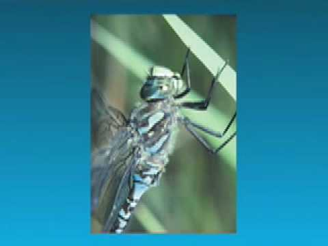Dragonflies of BC