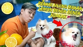KETIKA ANJING DI KASIH LEMON = NGAKAK! Video thumbnail