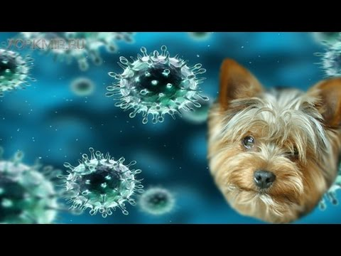 Аденовироз у собак | Причины | Симптомы | Лечение.