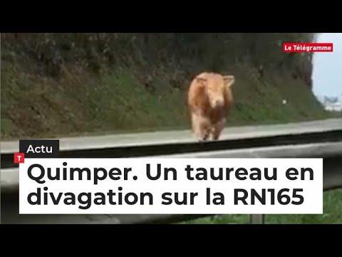 ac298883295 Quimper. Un taureau en divagation sur la RN165