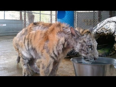Sickly Tiger With Stripes Missing Saved From Circus Falls In Love with Soulmate