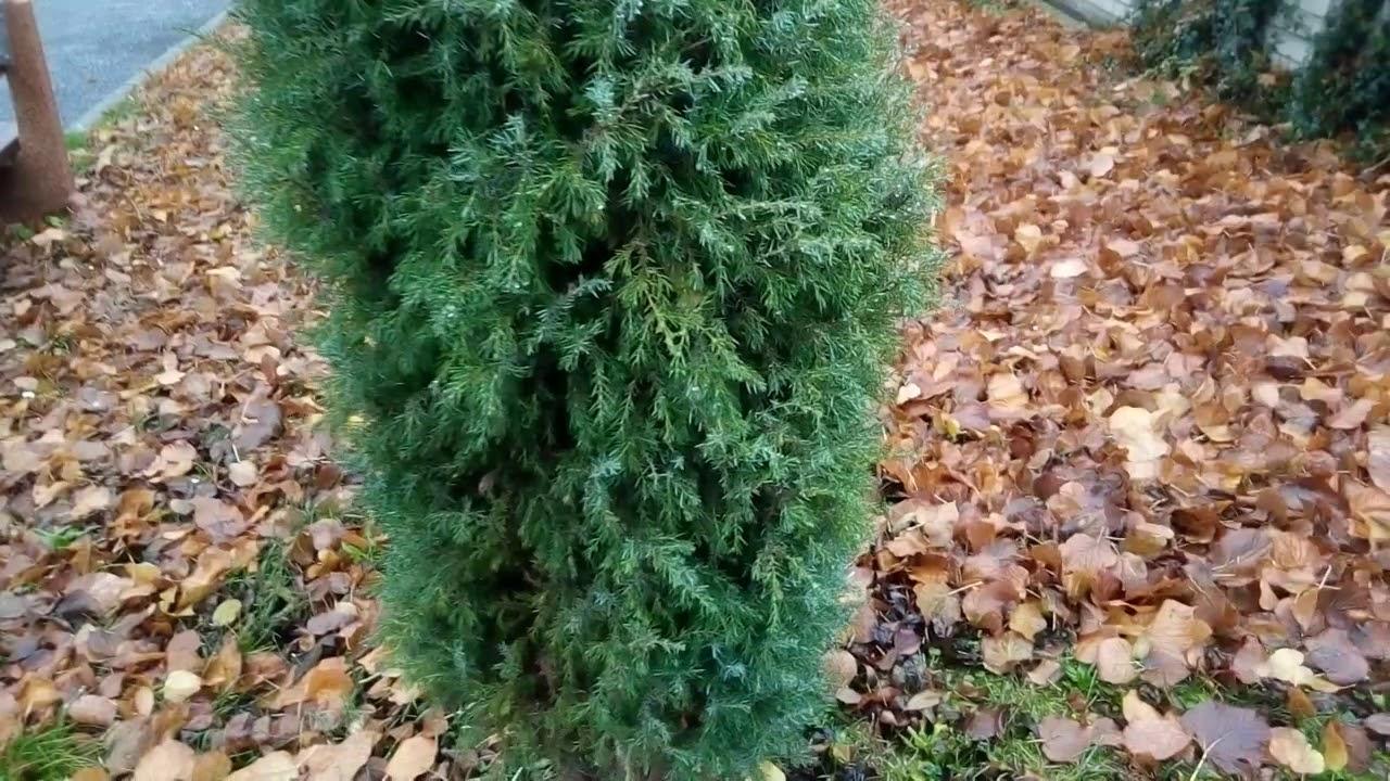 Можжевельник Голд Кон взрослое растение/Juniper Gold Con adult plant