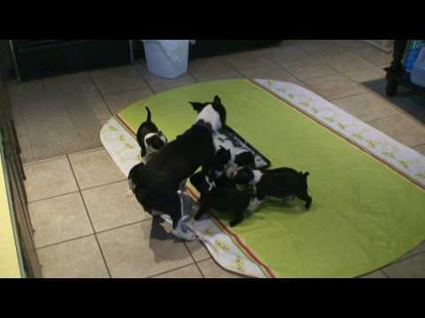 Boston Terrier mom being chased down by her 8 puppies