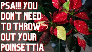 How To Care for Poinsettia After Christmas As A Houseplant
