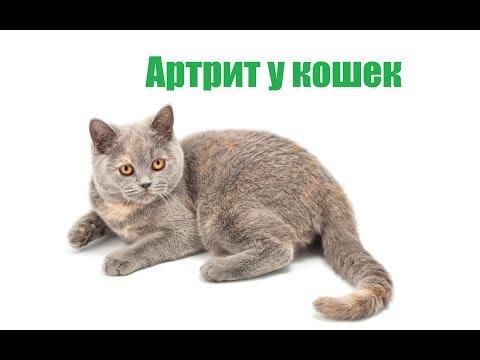 Артрит У Кошек& Причины Артрита У Кошек. Ветклиника Био-Вет