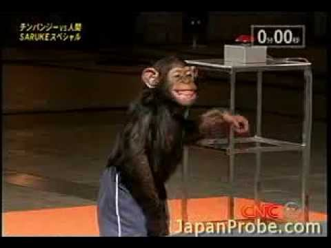 A chimpanzee doing the Ninja Warrior course in Japan