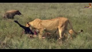 Wild Fauna / Хищники / Неудачи / Найти и уничтожить