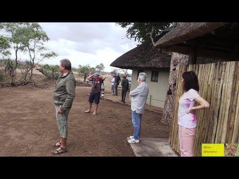 Leeus besoek Tshokwane in die Wildtuin