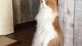 animale pisica sta in doua picioare