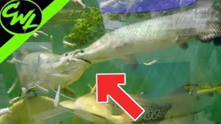 FEEDING MONSTER FISH!