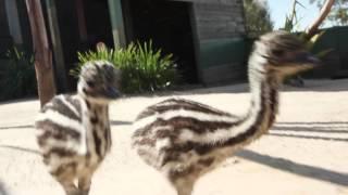 Cutest Emu Chicks chasing after camera