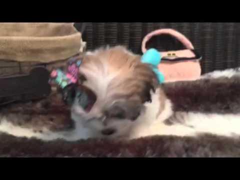 Fluffy little teddy bear, Mal-shi female